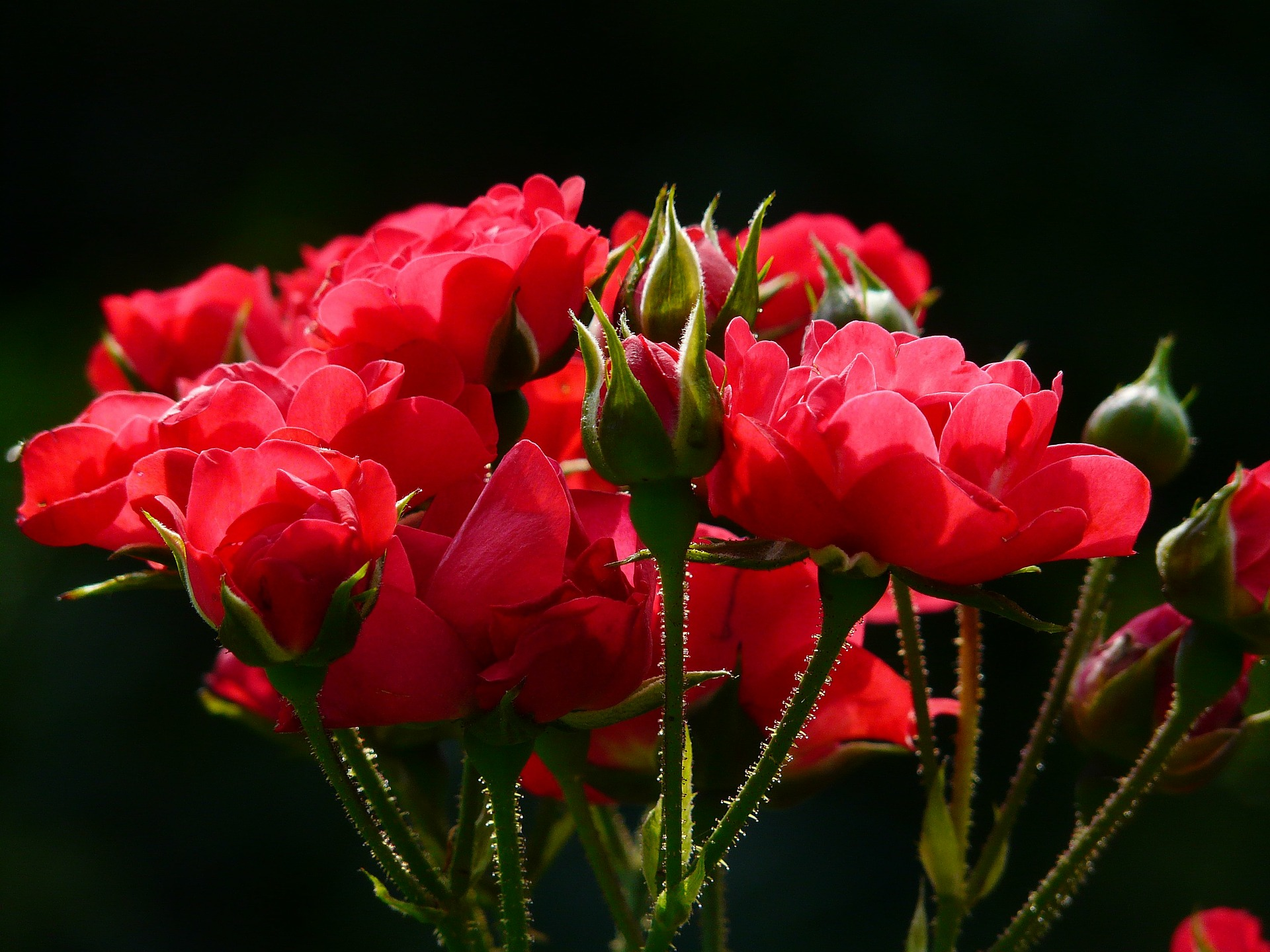 red-roses-4232_1920